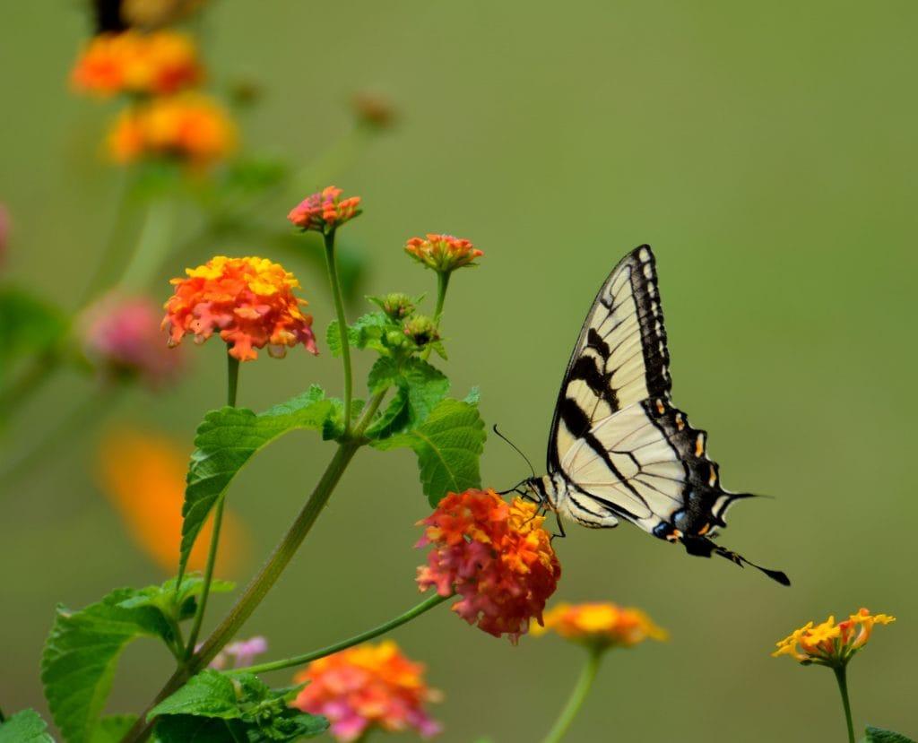 Butterfly garden milkweed